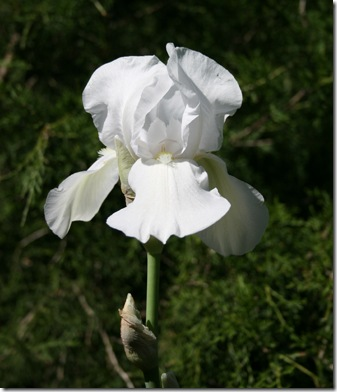 IrisFlower